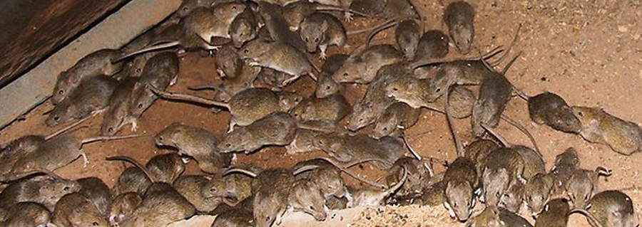 Mice And Rats Chagrin Valley Pest Control